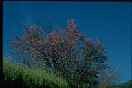 Cercis canadensis var. texensis
