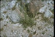Chaenactis carphoclinia var. carphoclinia