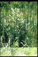 Equisetum hyemale ssp. affine