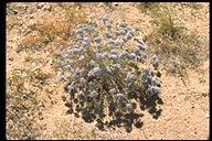 Eriastrum densifolium ssp. mohavense