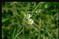 Erigeron lassenianus var. lassenianus