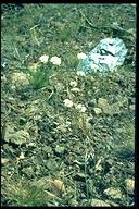 Allium membranaceum
