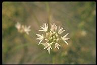 Allium tolmiei var. tolmiei