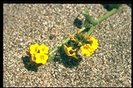 Seaside Fiddleneck