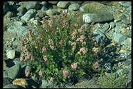 Ageratina occidentalis