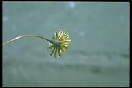 Agoseris apargioides var. maritima
