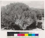 Chrysothamnus nauseosus ssp. gnaphalodes