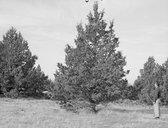 Juniperus sp.