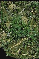 Lathyrus lanszwertii var. tracyi