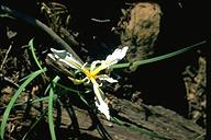 Iris hartwegii ssp. pinetorum