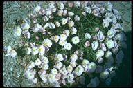 Oenothera mexicana