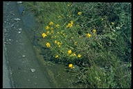 Erysimum capitatum ssp. angustatum
