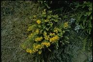 Ericameria ericoides