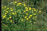 Hairy Gumweed