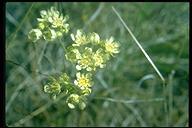 Horkelia daucifolia var. daucifolia