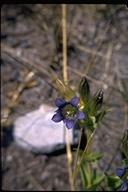 Gentiana calycosa