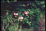 Lilium kelloggii