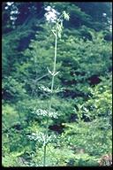 Lilium washingtonianum