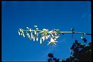 Lilium washingtonianum ssp. purpurascens