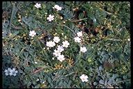 Arenaria sp.