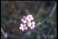 Linanthus androsaceus