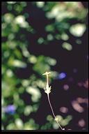 Leptosiphon oblanceolatus