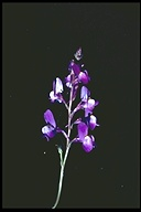 Linaria bipartita