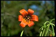 Lilium maritimum