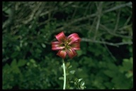 Lilium occidentale