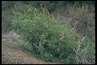Lupinus excubitus var. austromontanus