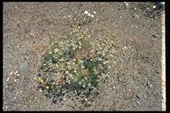 Lomatium dasycarpum