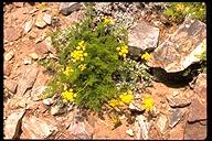 Lomatium torreyi