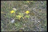 Lomatium tracyi
