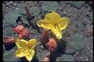 Oenothera xylocarpa