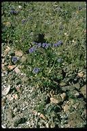 Phacelia crenulata var. ambigua