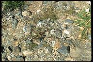 Phacelia crenulata var. crenulata