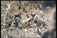 Psorothamnus arborescens var. arborescens