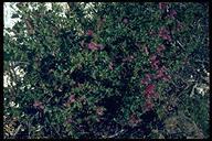 Penstemon newberryi var. berryi