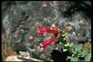 Penstemon newberryi var. sonomensis
