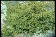 Frangula rubra ssp. rubra