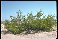 Prosopis glandulosa var. torreyana