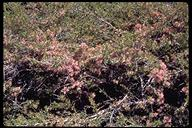 Prunus andersonii