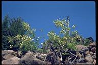Prunus virginiana var. demissa