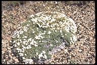Phlox douglasii