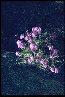 Phlox speciosa