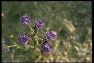 Parry's Scorpionweed