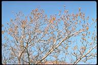 Populus fremontii ssp. fremontii