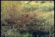 Salix lasiandra var. caudata