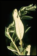 Salix sitchensis