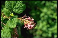 Ribes malvaceum var. malvaceum